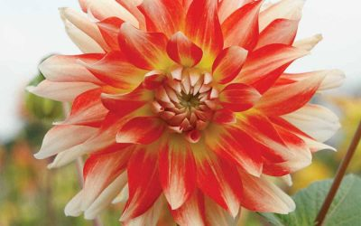 Summer flowering bulbs are now in stock!