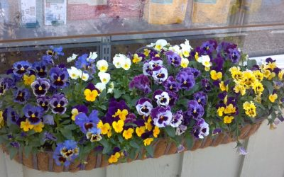 It might be a bit grey outside but your window boxes should be bursting with colour